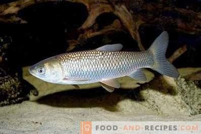 Pește alb de Amur: avantaj și rău